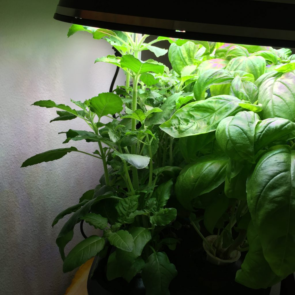 aerogarden thai italian basil week 5