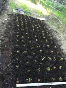 baby arugula sprouts | www.alldayieat.com