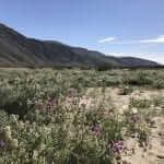 Anza Borrego State Park Wildflower Road Trip March 2017