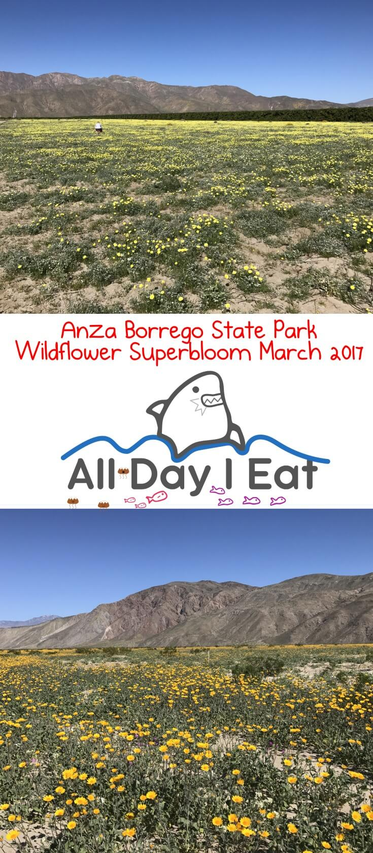 Anza Borrego State Park Wildflower Superbloom March 2017. A spectacular showing of desert wildflowers this year thanks to all the rain in Southern California! | www.alldayieat.com