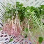Growing Microgreens Part 1- Red and White Daikon, Wasabi, and Amaranth (2)