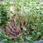 Growing Microgreens Part 1- Red and White Daikon, Wasabi, and Amaranth-2 (2)