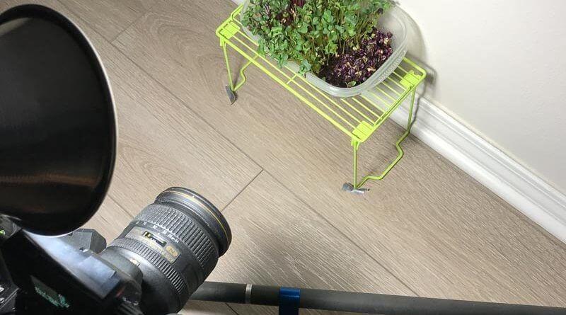 5 day timelapse kaiware daikon radish microgreens