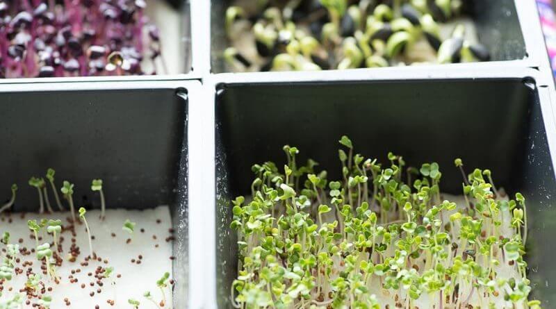 trueleaf market hydroponic microgreen kit sprouts